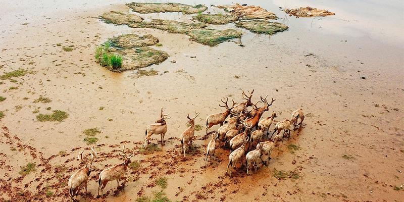 47只麋鹿野外放归,四不像回归鄱阳湖