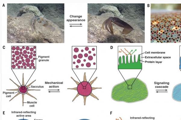 科学家通过模拟章鱼肌肤研制出新型伪装肌肤
