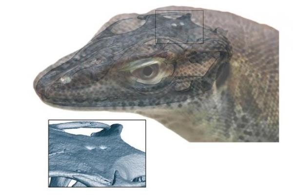科学家首次发现了生活在5000万年前的四眼蜥蜴